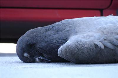 Pigeon_macbre