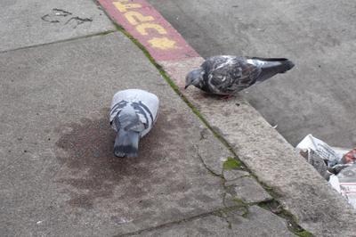 Pigeons_02